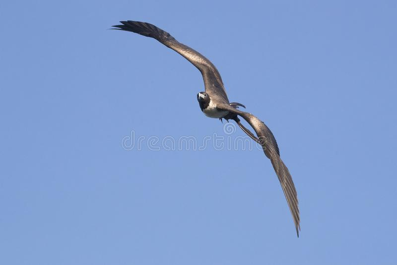 Pássaro de fragata de surpresa na ilha de Grand Cayman na imagem horizontal fotos de stock