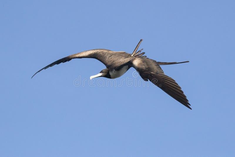 Pássaro de fragata de surpresa na ilha de Grand Cayman imagem de stock