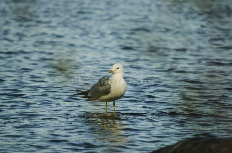 Pássaro de gaivota e sua sombra esperando o alvo em uma pedra em um banco de um lago em um belo dia de destino no norte da Europa imagem de stock