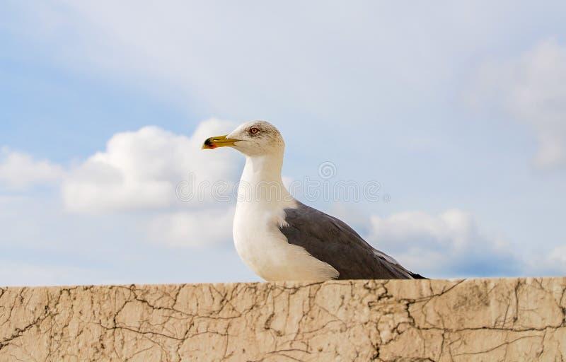 Pássaro de gaivota, Roma, Itália imagem de stock