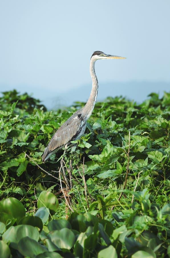Pássaro de Garca-Moura na parte superior de uma árvore sobre a folha verde fotos de stock