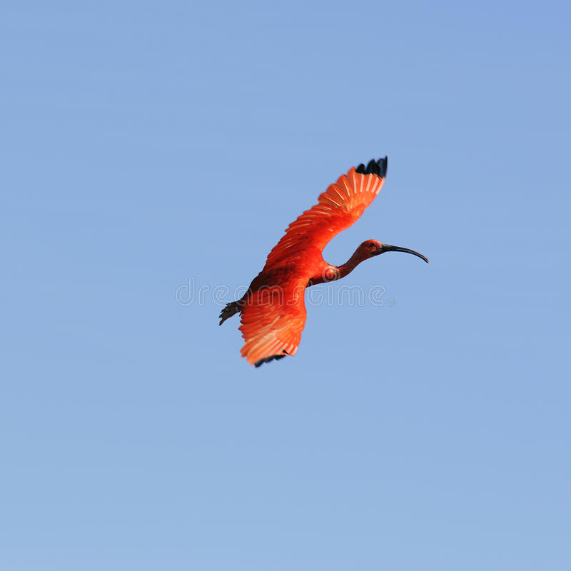 Pássaro de Ibis foto de stock