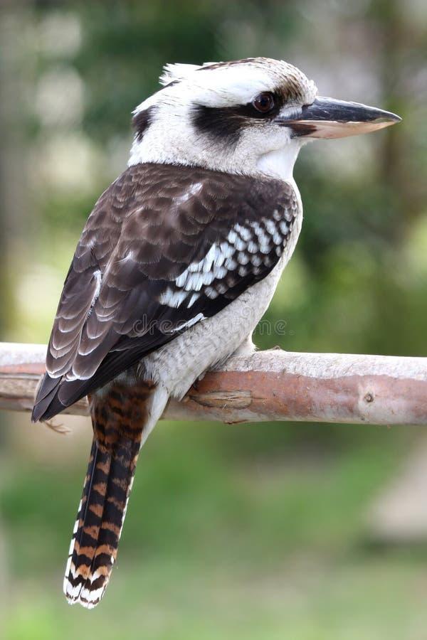 Pássaro de Kookaburra fotos de stock royalty free