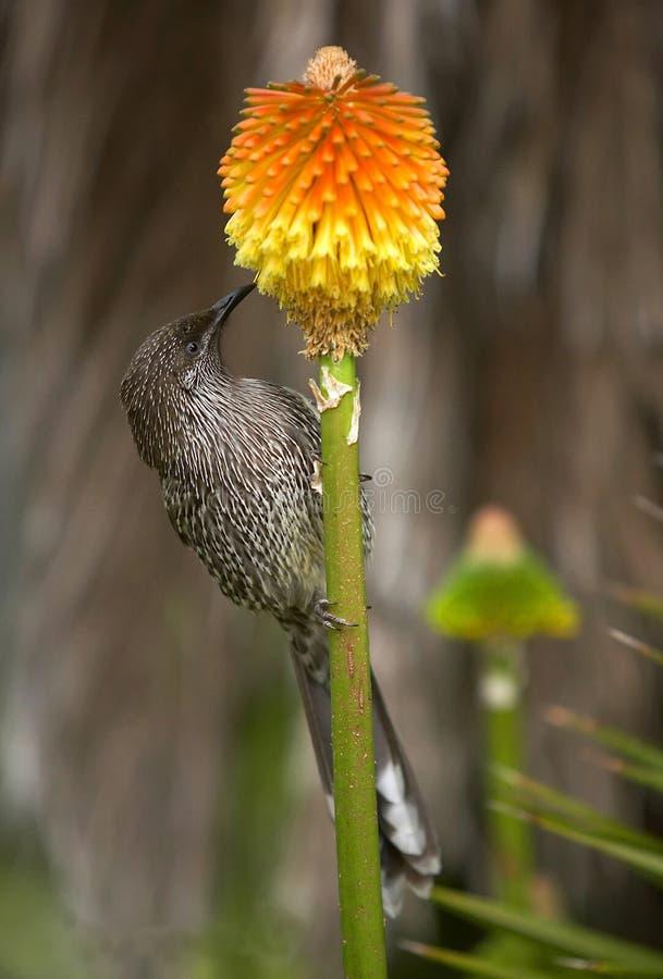 Pássaro de Lesser Wattle imagens de stock