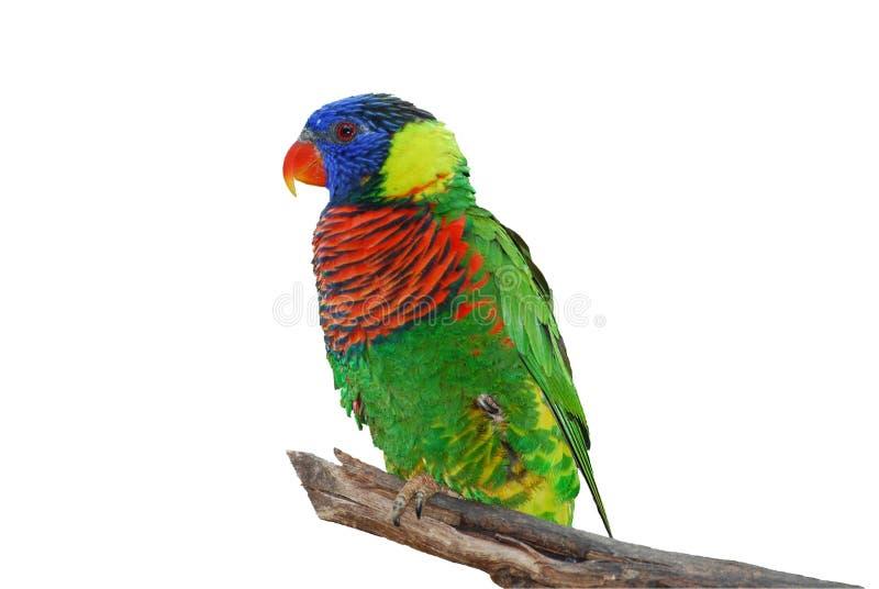 Pássaro de Lorikeet isolado ilustração royalty free