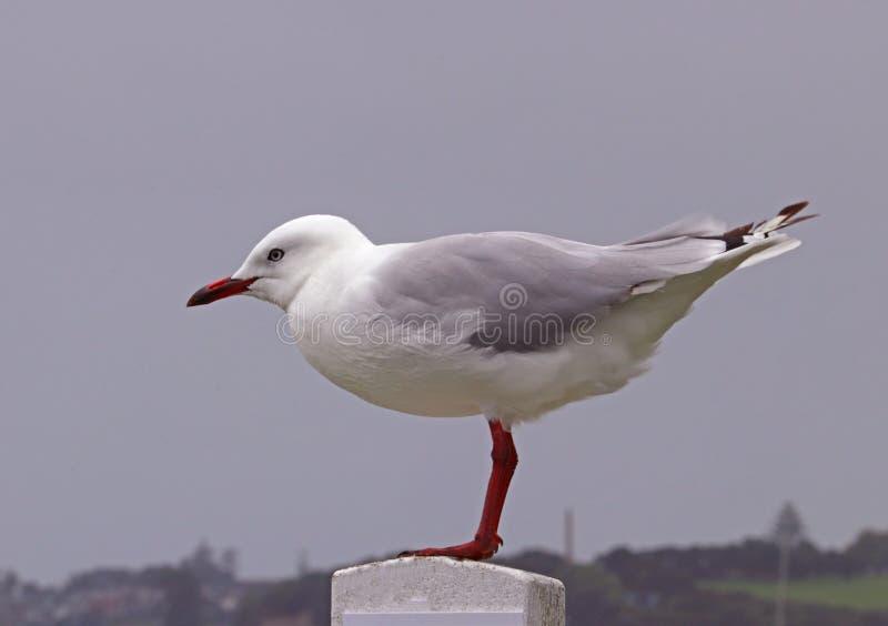 Pássaro de mar em Nova Zelândia fotos de stock royalty free
