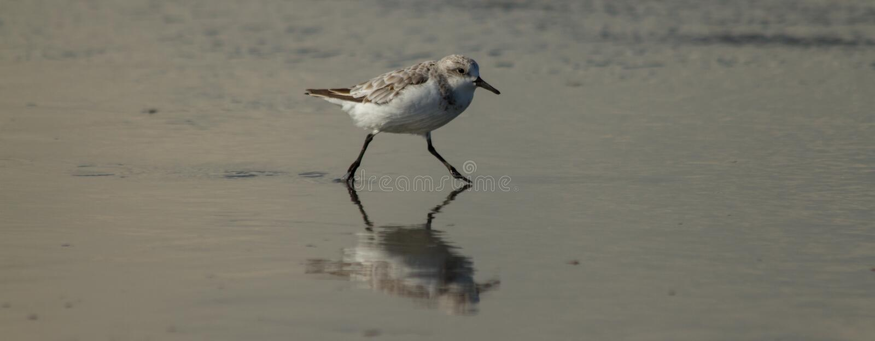 Pássaro de mar que corre através da água fotografia de stock
