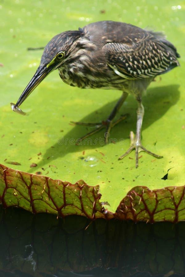 Pássaro de Maurícia em um lírio de água imagens de stock royalty free