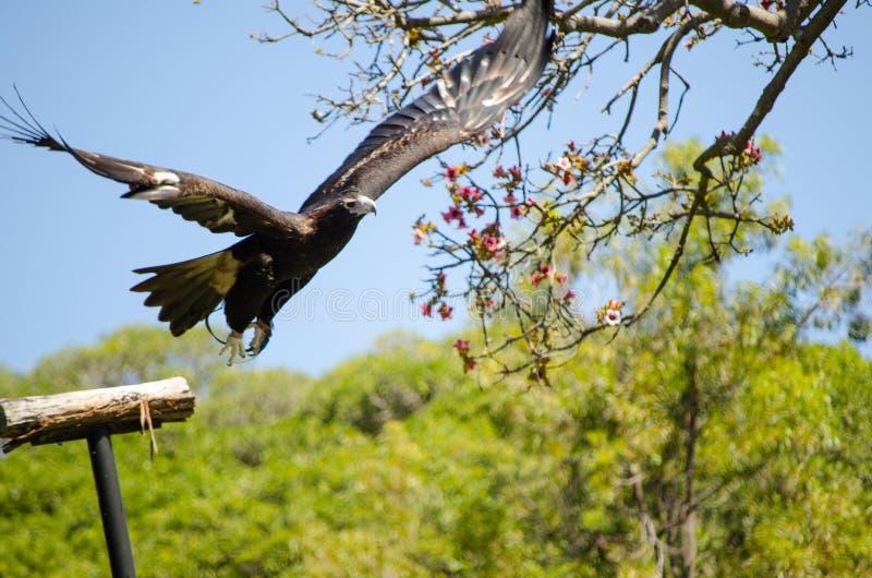 Pássaro de Milvus Migrans do papagaio preto que espalha suas asas para voar foto de stock royalty free