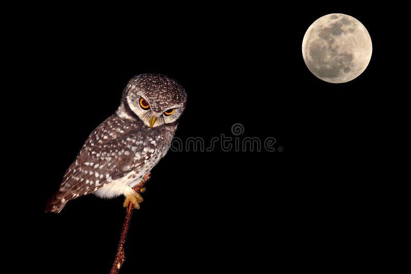 Pássaro de noite da coruja imagem de stock royalty free