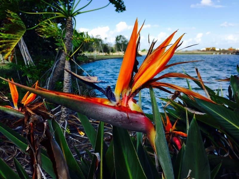 Pássaro de paraíso, na frente do mar, Queensland, Austrália foto de stock royalty free