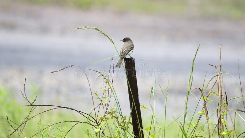 Pássaro de Phoebe oriental em Monroe, Walton County, GA fotos de stock
