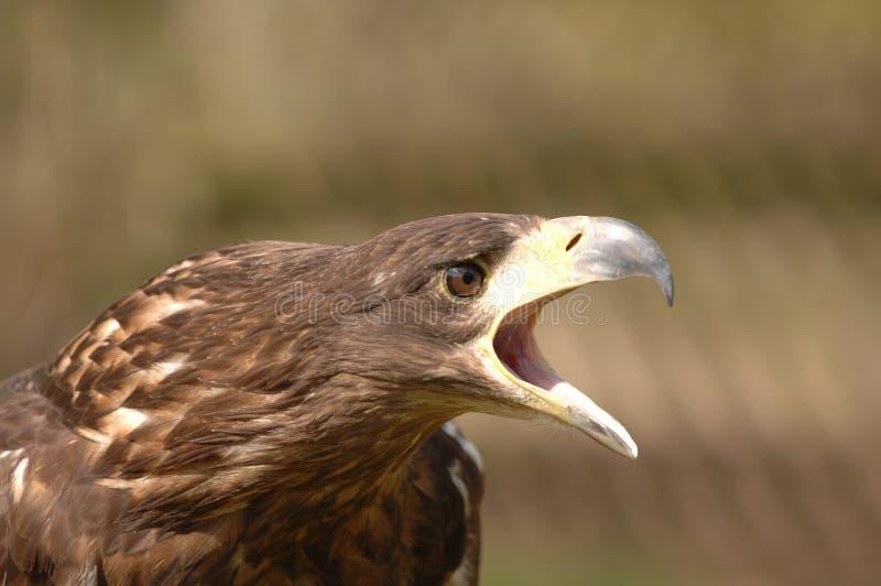 Pássaro de rapina imagem de stock royalty free
