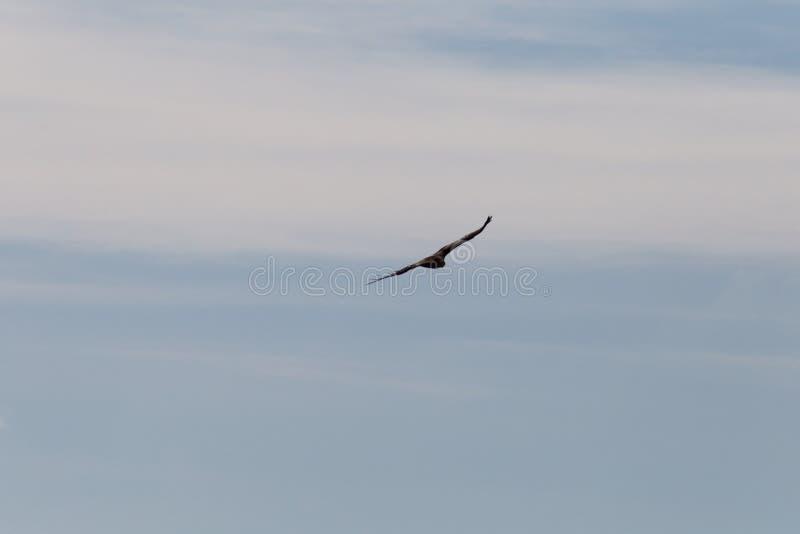 pássaro de rapina como pares no céu azul do verão imagens de stock