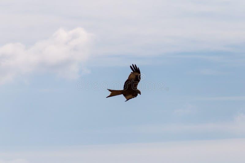 pássaro de rapina como pares no céu azul do verão imagem de stock