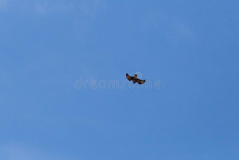 pássaro de rapina como pares no céu azul do verão fotos de stock royalty free