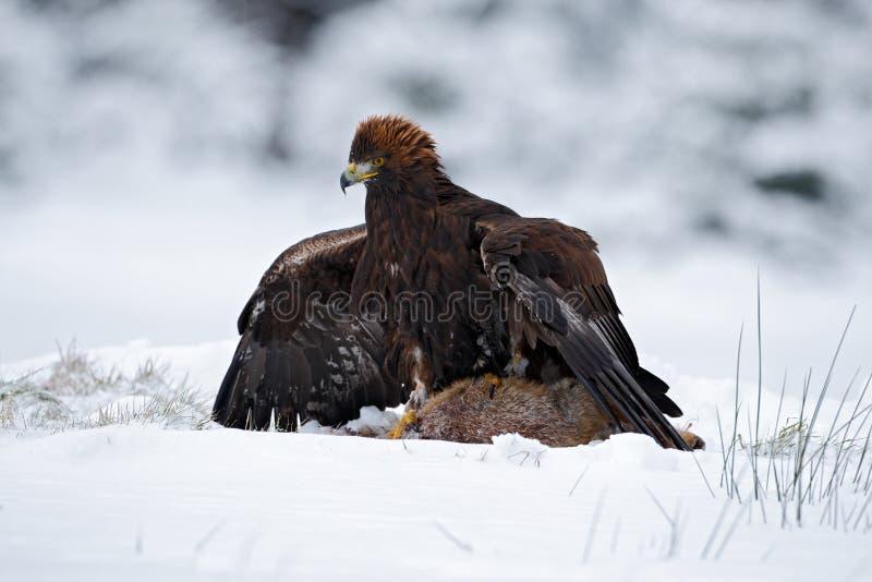 Pássaro de rapina Eagle dourado com a lebre da matança no inverno com neve fotos de stock royalty free