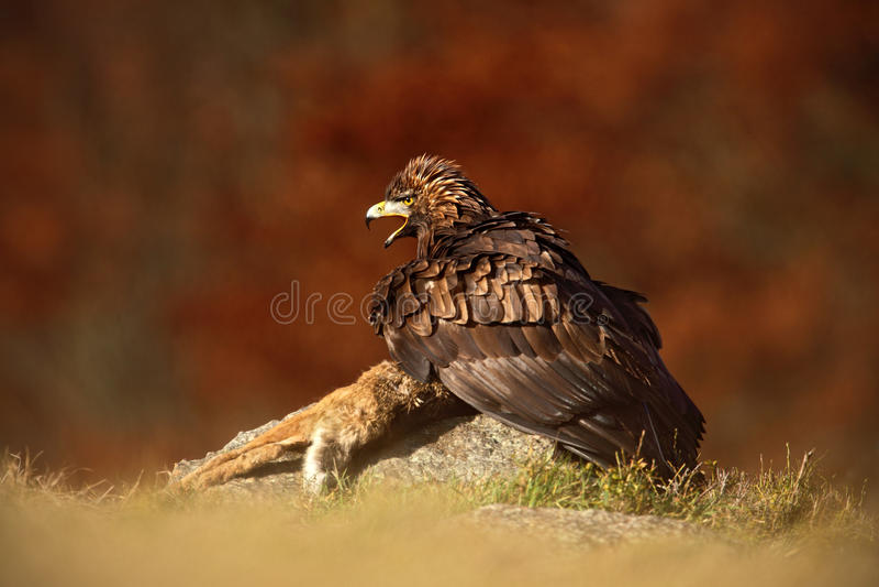 Pássaro de rapina Eagle dourado, com a raposa vermelha da matança na pedra - foto com a floresta alaranjada borrada agradável do  imagens de stock royalty free