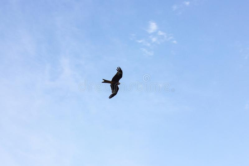 pássaro de rapina no voo das nuvens de tempestade imagem de stock