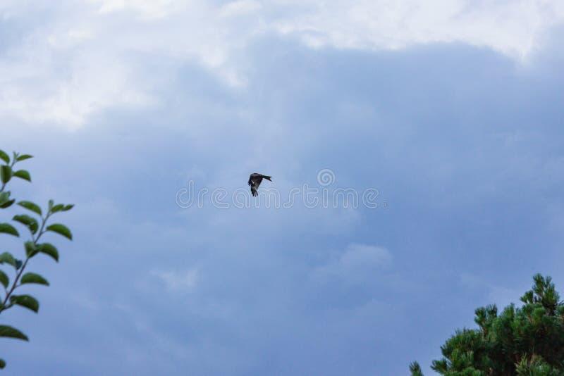 pássaro de rapina no voo das nuvens de tempestade foto de stock royalty free