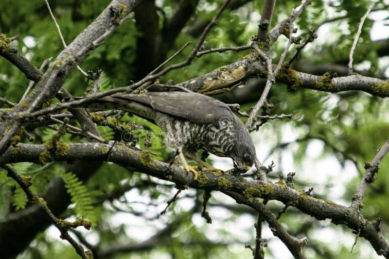 Pássaro de rapina que senta no ramos de uma árvore imagens de stock