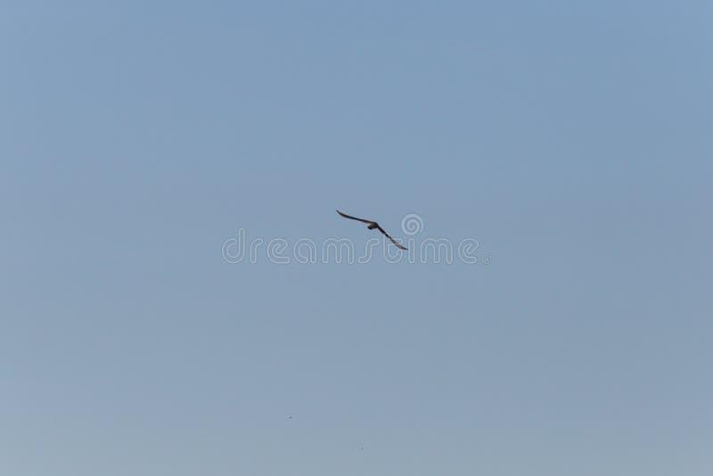 pássaro de rapina que voa altamente no céu azul profundo imagens de stock royalty free