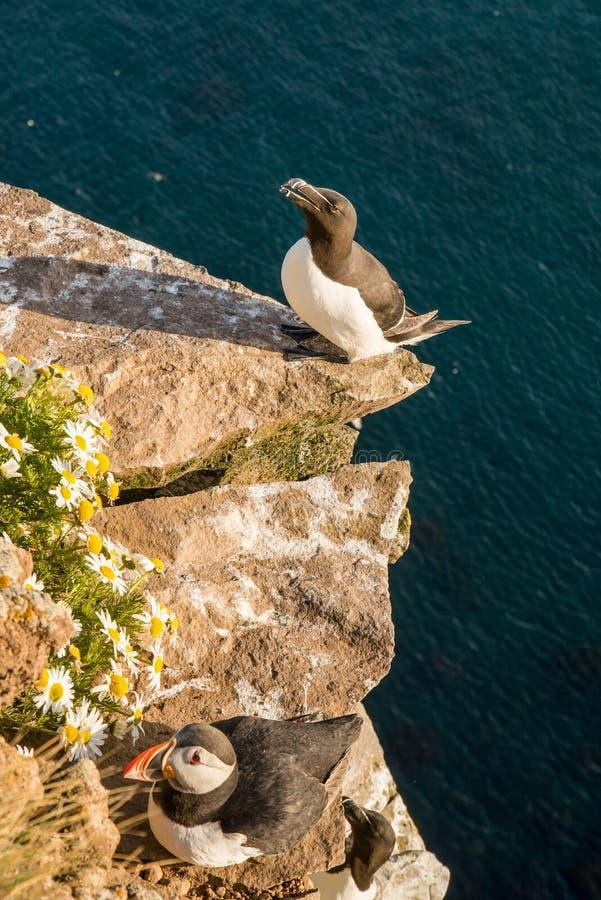 Pássaro de Razorbill e pássaro do papagaio-do-mar foto de stock