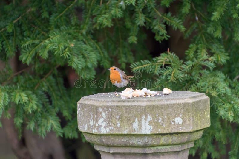 Pássaro de Robin Redbreast fotografia de stock