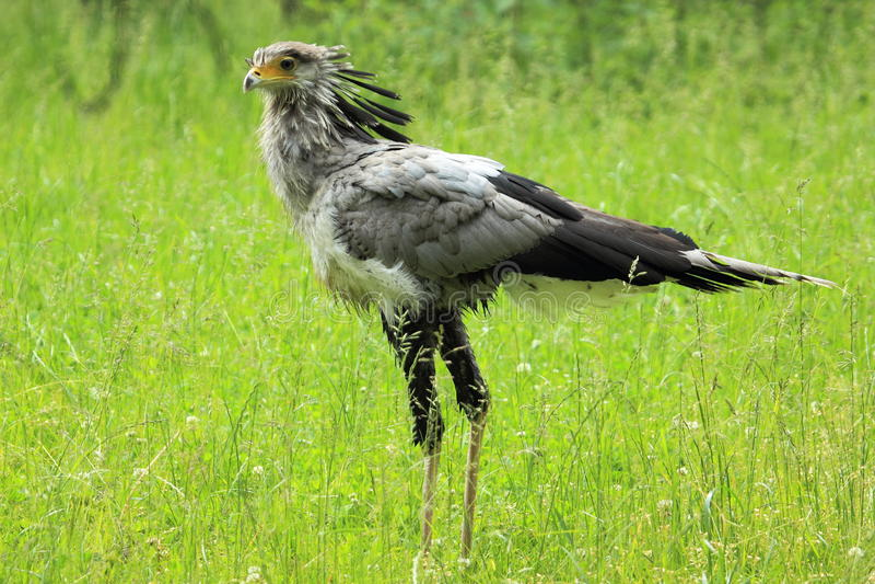 Pássaro de secretária fotografia de stock