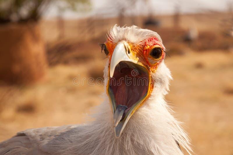Pássaro de secretário com bico aberto fotografia de stock royalty free