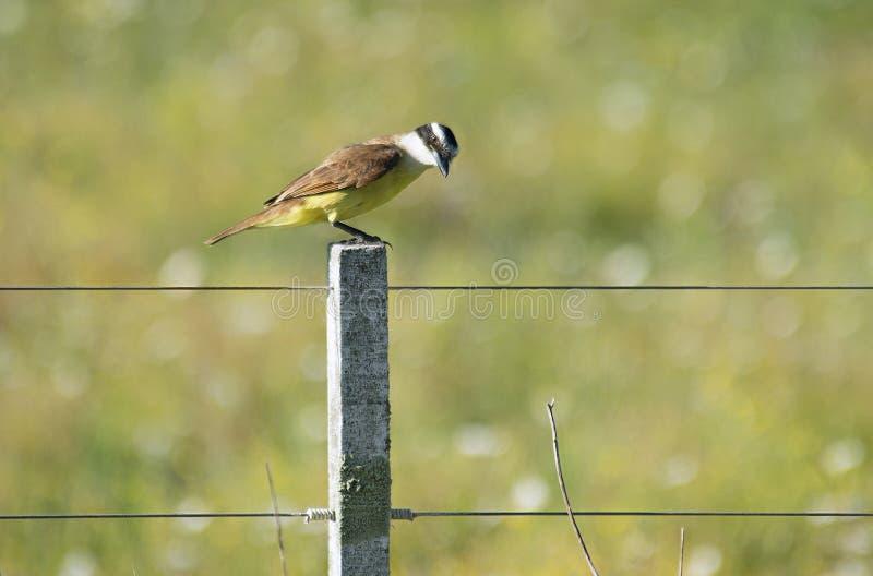 Pássaro de tirano empoleirado fotografia de stock
