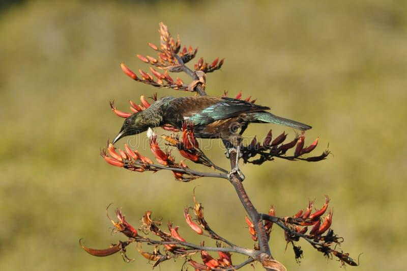 Pássaro de Tui que alimenta em uma planta do linho fotografia de stock