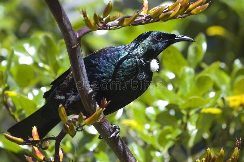 Pássaro de Tui que senta-se em uma planta do linho imagem de stock