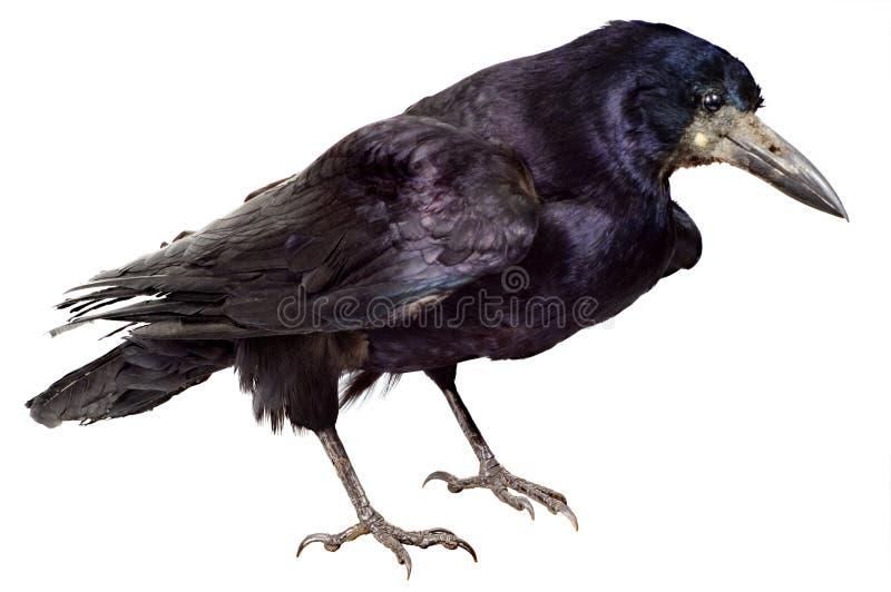 Pássaro de um preto do corvo foto de stock