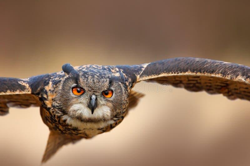 Pássaro de voo da cara com as asas abertas no prado da grama, cara a cara retrato da mosca do ataque do detalhe, floresta alaranj imagem de stock