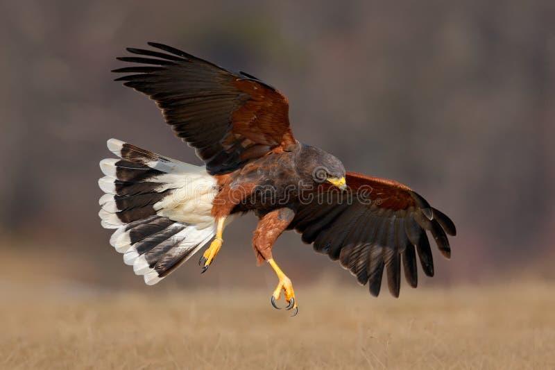 Pássaro de voo de rapina, Harris Hawk, unicinctus de Parabuteo, aterrissagem imagens de stock