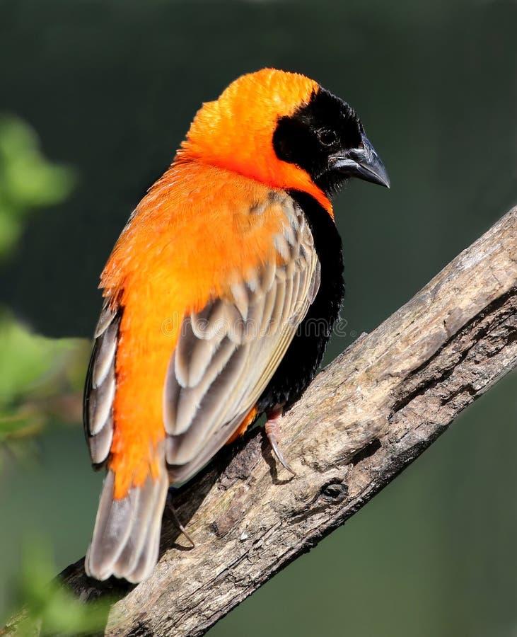 Pássaro de Weaver do bispo fotografia de stock