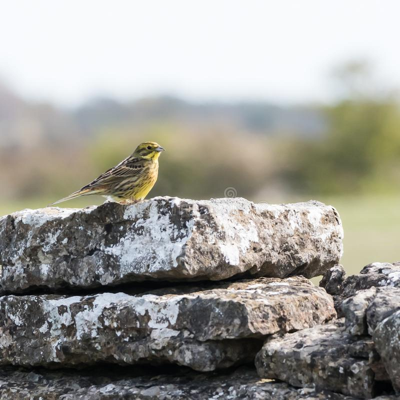 Pássaro de Yellowhammer do homem que senta-se em um habitat natural foto de stock royalty free