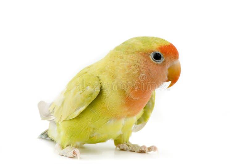 Pássaro do amor foto de stock royalty free