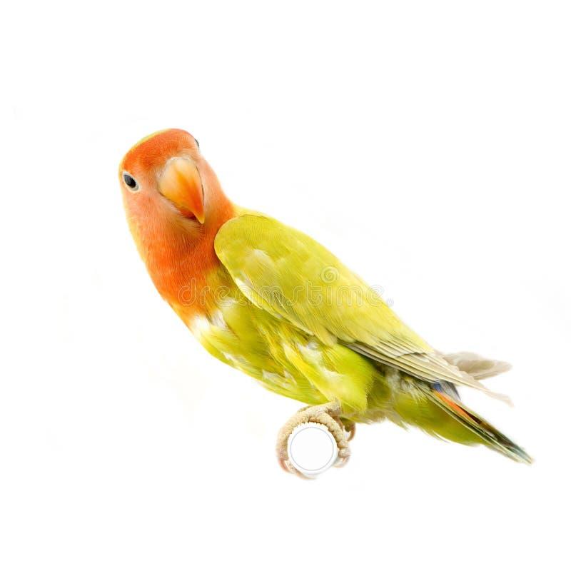 Pássaro do amor imagem de stock royalty free