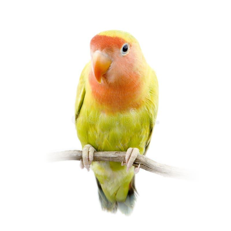 Pássaro do amor fotografia de stock royalty free