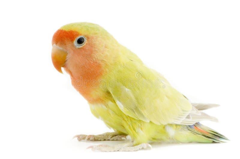 Pássaro do amor fotos de stock royalty free