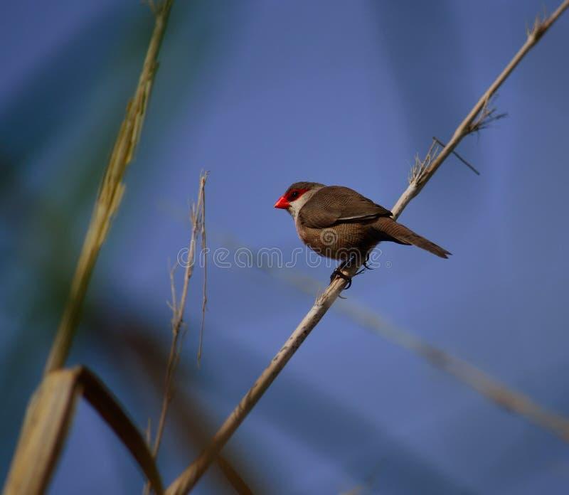 Pássaro do bico vermelho no junco foto de stock