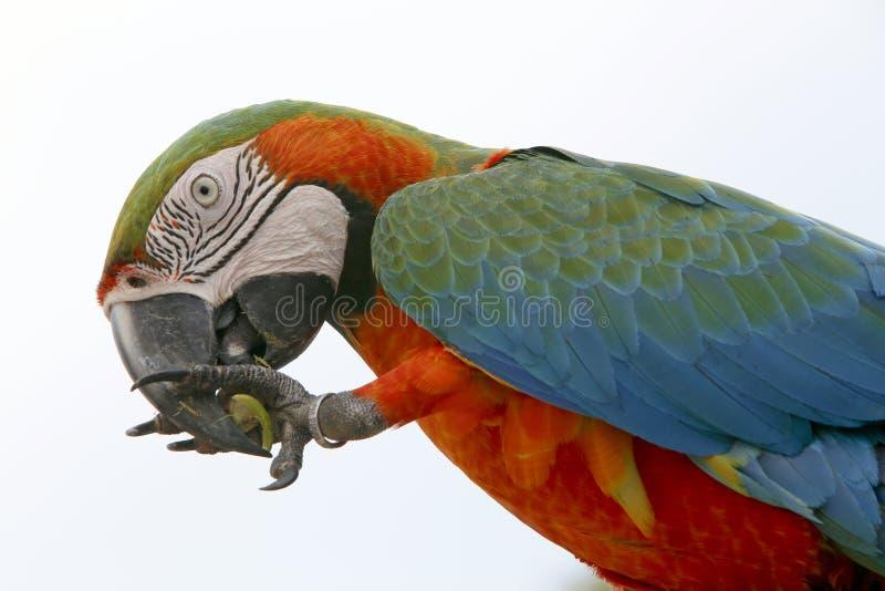 Pássaro do brasileiro de Arara fotografia de stock