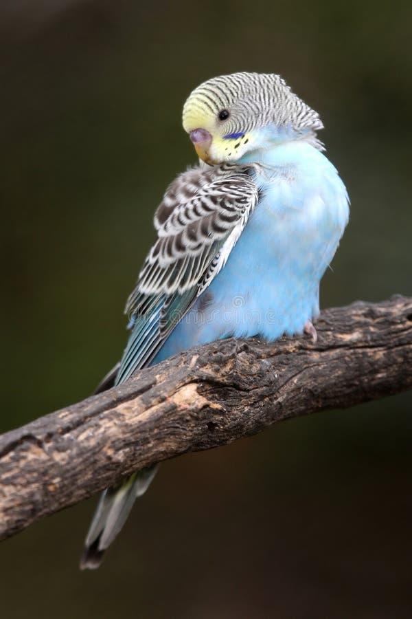 Pássaro do Budgerigar fotografia de stock royalty free