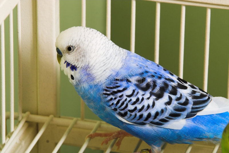Pássaro do Budgerigar na gaiola fotografia de stock