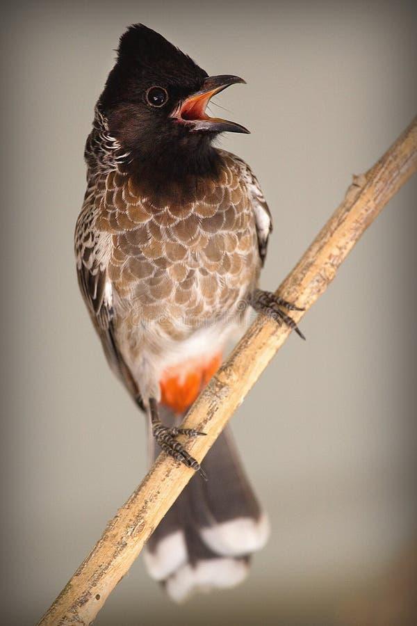 Pássaro do Bulbul imagem de stock