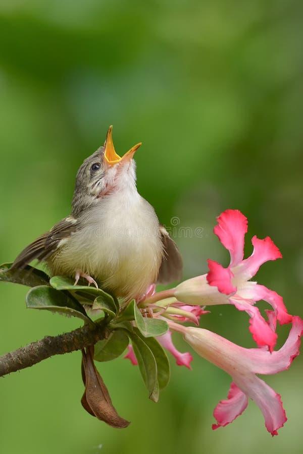 Pássaro do canto fotografia de stock royalty free