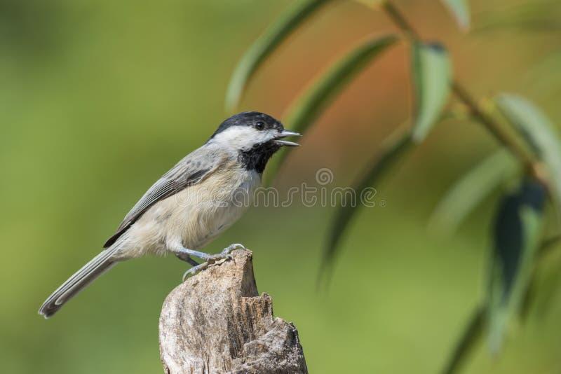 Pássaro do Chickadee imagens de stock