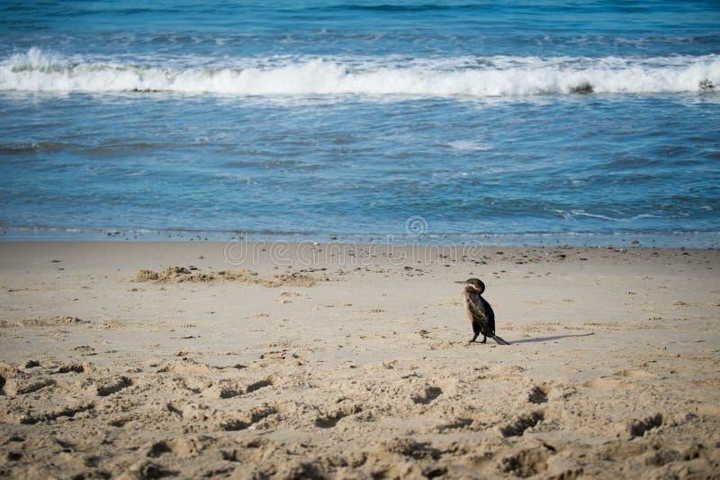 Pássaro do cormorão no oceano fotos de stock royalty free